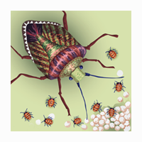 Stink Bug Illustrations